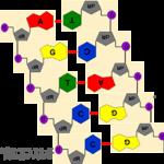 DNA2hon